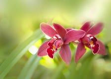 Les orchidées fleurit l'instruction-macro à l'arrière-plan rose et mol. Photographie stock