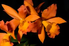 Les orchidées fleurit (le SP de Cattleya) image libre de droits