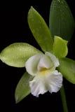 Les orchidées fleurit (le SP de Cattleya) images stock