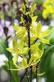 Les orchidées jaunes fleurissent étroit avec le fond vert de feuille Photos stock