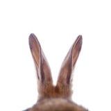 Les oreilles de lapin photographie stock libre de droits