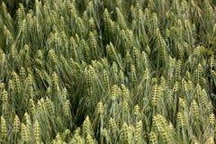 Les oreilles des blés photographie stock libre de droits