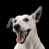 Les oreilles drôles de race mélangée poursuivent le portrait dans un studio foncé de photo Photos libres de droits