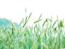Les oreilles du blé dans la campagne mettent en place prêt à moissonner Images libres de droits