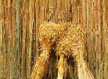 Les oreilles du grain se sont associées par paquets sur le fond du marais Photos libres de droits