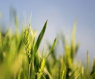 Les oreilles mûres vertes du blé se développent et mûrissent dans le domaine au soleil Photos stock