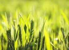 Les oreilles mûres vertes du blé se développent et mûrissent dans le domaine dans le résumé Photo stock