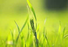 Les oreilles mûres vertes du blé se développent et mûrissent dans le domaine dans le résumé Photographie stock libre de droits