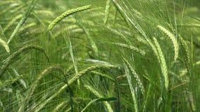 Les oreilles vertes du grain Secousses de vent de blé Photos stock