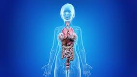 Les organes femelles illustration de vecteur