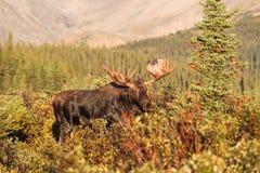 Les orignaux de Shiras du Colorado Images stock