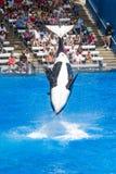 Les orques exécutent le saut périlleux Photo libre de droits