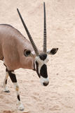 Les oryx est un genre des mammifères et des ruminants Images libres de droits
