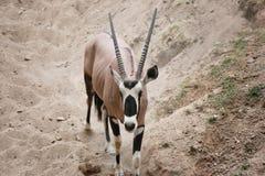 Les oryx est un genre des mammifères et des ruminants Photo libre de droits