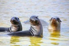 Les otaries de Galapagos jouant dans l'eau chez Gardner Bay, Espanola est Image libre de droits