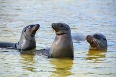 Les otaries de Galapagos jouant dans l'eau chez Gardner Bay, Espanola est Images libres de droits