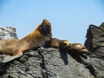 Les otaries sur l'île rocheuse perfectionnent l'endroit pour voir beaucoup d'oiseaux image libre de droits