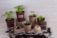Les outils de jardin avec des jeunes plantes végétales éclairent dessus le fond Photographie stock