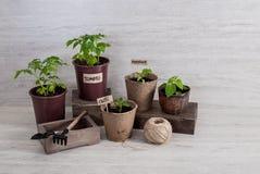 Les outils et les tasses de jardin avec des jeunes plantes végétales éclairent dessus le backgr Photographie stock libre de droits