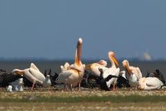 Les pélicans blancs, les cormorans et les mouettes se reposent sur un banc de sable Images stock