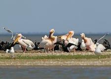 Les pélicans blancs, les cormorans et les mouettes se reposent sur un banc de sable photos stock