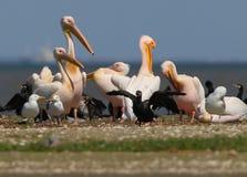 Les pélicans blancs, les cormorans et les mouettes se reposent sur un banc de sable Photo stock