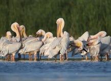 Les pélicans blancs de grand troupeau se reposent sur l'eau Images libres de droits