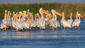 Les pélicans blancs de petit troupeau se reposent sur l'eau Photo stock