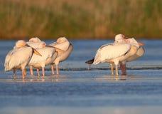 Les pélicans blancs de petit troupeau se reposent sur l'eau Photo libre de droits
