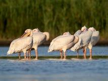 Les pélicans blancs de petit troupeau se reposent sur l'eau Photographie stock