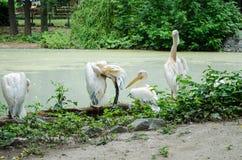 Les pélicans nettoient des plumes et regarder l'appareil-photo près de l'étang dans le zoo de Kiev image stock