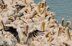 Les pélicans se reposent sur le rivage de l'étang images libres de droits