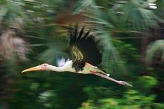 Les pélicans simples volent au-dessus de l'essai de rivière de lac pour pêcher des poissons Pélican Photographie stock
