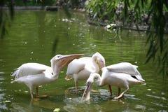 Les pélicans sont un genre des grands oiseaux d'eau qui composent le Pelecanidae de famille Ils sont caractérisés par un long bec image libre de droits