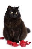 les pétales d'isolement mignons de chat noir se sont levés se reposant Photo stock