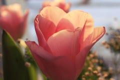 Les pétales d'une tulipe au soleil Images stock