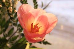 Les pétales d'une tulipe au soleil photographie stock libre de droits