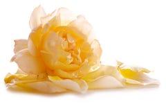 Les pétales de rose jaunes et se sont levés Photo stock