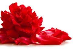Les pétales de rose rouges et se sont levés Photos libres de droits