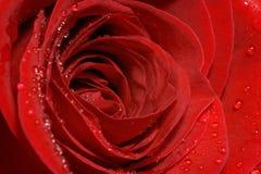 Les pétales de rose rouges parfaits se ferment vers le haut avec des baisses de l'eau Images libres de droits