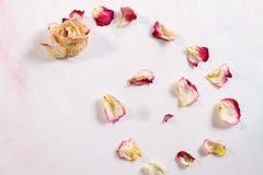 Les pétales de rose secs sont fond blanc en baisse Photo libre de droits