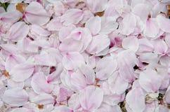 Les pétales des fleurs de cerisier Photos stock