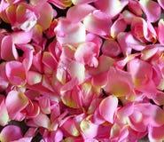 Les pétales du rose se sont levés Photos stock