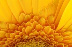 Les pétales jaunes, les pistils et le coeur vert fleurissent Photos stock