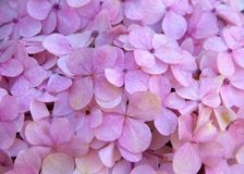 Les pétales pourpres et roses de fond d'hortensia se ferment  Photos stock