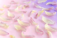 Les pétales roses tendres de tulipe sur le gradient pourpre colorent le fond fond de carte postale Modèle fait de pétales de tuli Photographie stock