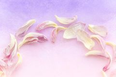 Les pétales roses tendres de tulipe sur le gradient pourpre colorent le fond Une partie d'un cadre rond fait de pétales de tulipe Photo libre de droits