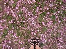Les pétales tombés de cerise-Sakura sur l'herbe Image libre de droits