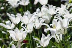 Les p?tales de tulipe avancent ? de longs arcs Tulipe fleurissante de lis image libre de droits