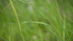 Les pailles vertes d'herbe d'été en été léger passent en coup de vent banque de vidéos